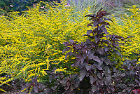 Physocarpus opulifolius Diablo + Solidago rugosa 'Fireworks', perennial fall autumn bloomers together in garden plant combination, yellow gold with purple dark foliage, contrasts