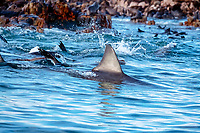 great white shark, Carcharodon carcharias patrols a colony of South African fur seals, Arctocephalus pusillus, seals mob shark to avoid surprise attack, Geyser Rock, S.Africa