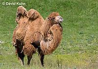 0620-1003  Bactrian Camel, Camelus bactrianus  © David Kuhn/Dwight Kuhn Photography