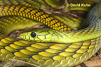 0423-1112  Western Green Mamba (West African Green Mamba), Dendroaspis viridis  © David Kuhn/Dwight Kuhn Photography