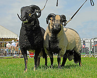Three Counties Show Friday.....Badger faced sheep. Torwen type (left) and Torddu.