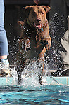 Cooper enjoys the third annual Pooch Plunge at the Carson Aquatic Facility in Carson City, Nev., on Saturday, Sept. 17, 2011. The event, which raises money for Parks 4 Paws, continues Sunday with sessions at 9 a.m., 11 a.m. and 1 p.m..Photo by Cathleen Allison