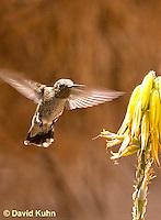 0201-1207  Female Anna's Hummingbird in Flight, Calypte anna  © David Kuhn/Dwight Kuhn Photography