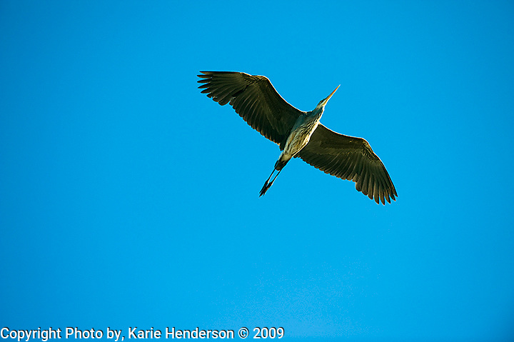 A Great Blue Heron flys overhead at the Goleta Slough, in Goleta California. Photographed using a Nikon D3 and Nikon 70-200mm lens.