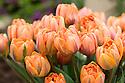 Tulip 'Orange Princess' (Double Late Group), a double form of 'Princess Irene'.