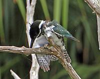 Female Amazon kingfisher stretching