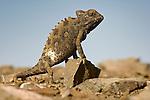 Namaqua Chameleon (Chamaeleo namaquensis) basking in early morning sun on rocky dunes. Skeleton Coast, Namibia.