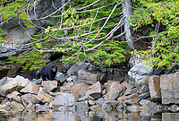A large black bear explores the scenic shoreline of the Great Bear Rainforest.