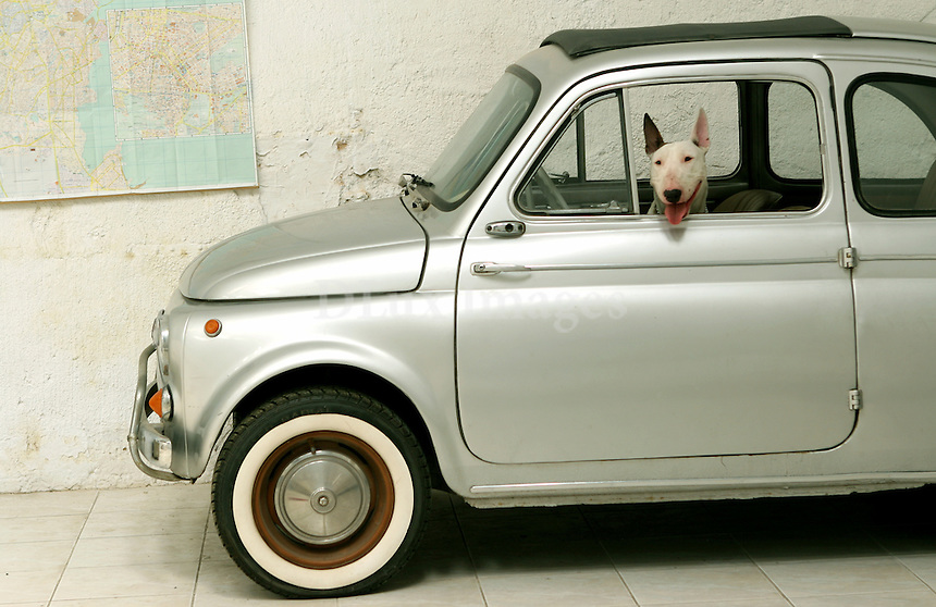 Dog sitting in a Fiat 500