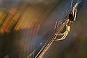 Longjawed Orbweaver {Metellina segmentata} in web at sunset, showing refraction of light by silk. Dunwich Heath, Suffolk, UK. September.