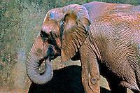 Animais. Mamiferos. Elefante asiático (Elephas maximus). Zoológico, SP. Foto de Juca Martins.