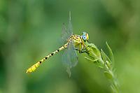 333920017 a wild teneral male brimstone clubtail stylurus intricatusperches on a plant stem near the drew road canal west of el centro imperial county california