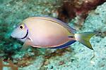 Acanthurus tractus, Ocean surgeonfish, Statia