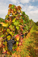 Bunches of ripe grapes. Vine leaf. Pinot noir. Corton Grand Cru. Aloxe Corton, Cote de Beaune, d'Or, Burgundy, France