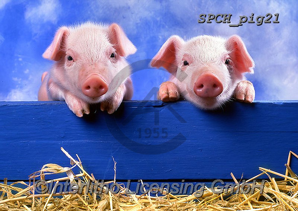 Xavier, ANIMALS, REALISTISCHE TIERE, ANIMALES REALISTICOS, pigs, photos+++++,SPCHPIG21,#a#, EVERYDAY
