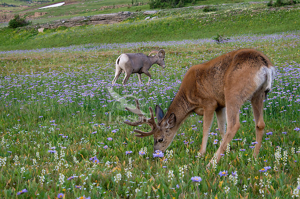 Rocky Mountain Bighorn Sheep (Ovis canadensis) ram & Mule Deer (Odocoileus hemionus) buck in wildflowers (mostly wild asters).  Glacier National Park, Montana.  Summer.