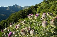 Europe/France/Auvergne/15/Cantal/Parc Naturel Régional des Volcans: Le Puy Mary (1787 mètres)  et la vallée de Mandailles et chardons d'auvergne