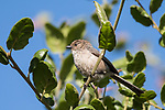 San Diego, California; a Bushtit perched on a small tree branch in late afternoon sunlight