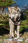 grey wolf grey color phase full body view walking to camera, vertical