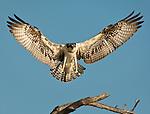 Osprey landing on a dead tree branch