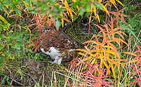 It gets cold in Denali in late August, especially when it's damp and rainy.  Here a Willow Ptarmigan (Lagopus lagopus) puffs itself up to keep warm as it poses among the fireweed along the Denali Park Road.  Denali National Park, Alaska.