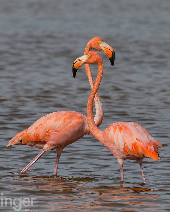 American Flamingoes on Cayo Coco, Cuba