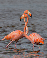 American Flamingoes on Cayo Coco, Cuba