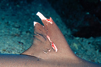 dorsal fin of whitetip reef shark, Triaenodon obesus, with mating scars, Cocos Island, Costa Rica, East Pacific Ocean