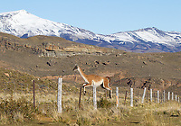Guanacos are a common sight in southern Chile, often posing before the spectacular mountains.  Here, one jumps a fence separating the national park from private land.