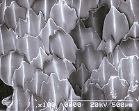 great white shark, Carcharodon carcharias, skin, scanning electron microscope view of dermal denticles or placoid scales