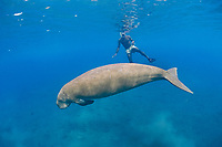 Pacific Islander and dugong or sea cow, Dugong dugon, tropical Indo-Pacific region (Western Pacific Ocean)