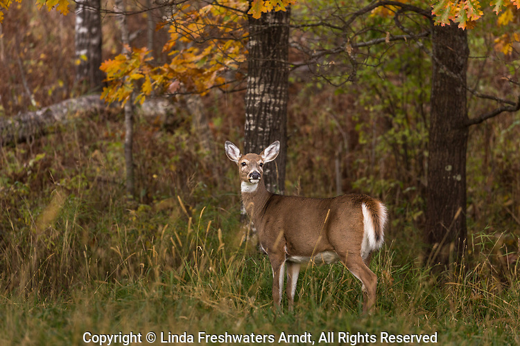 White-tailed doe starts to flare her tail in alarm in northern Wisconsin.
