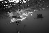 Sailfish hunting Sardines, Istiophorus albicans, Isla Mujeres, Yucatan Peninsula, Caribbean Sea, Mexico