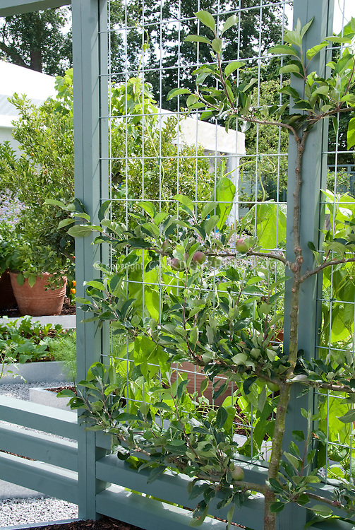 Espaliered apple tree against wire trellis in fruitscaping