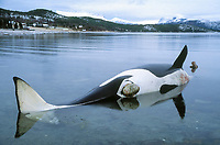 dead orca or killer whale, Orcinus orca, stranded female cadaver or carcass, Tysfjord, Arctic Norway, North Atlantic