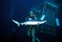 Feeding a blue shark, Prionace glauca, in a stainless steel shark suit. California, USA.