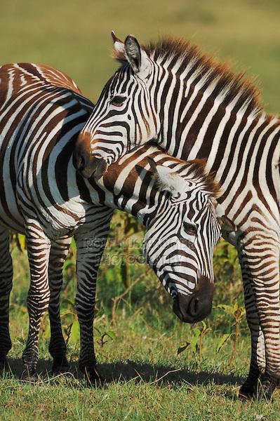 Plains Zebras (Equus quagga), pair, Lake Nakuru, Kenya, Africa