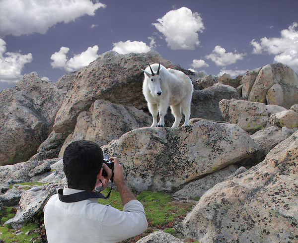 Mt Goat on the slopes of Mt Evans. John leads wildlife photo tours throughout Colorado. Year-round.