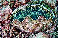 maxima clam, Tridacna maxima, Hibernia Reef, Kimberley, West Australia