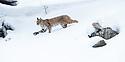 North American bobcat (Lynx rufus) striding through deep snow. Madison River Valley, Yellowstone National Park, Wyoming, USA. January