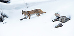 North American bobcat (Lynx rufus) striding through deep snow. Madison River Valley, Yellowstone National Park, Wyoming, USA. January