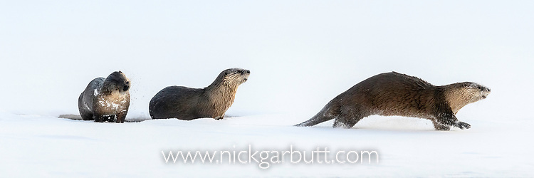 North American river otters (Lontra canadiensis)(formely Lutra canadiensis) (probaly female with two near-adult cubs) on the frozen river edge. Upper Yellowstone River, Hayden Valley, Yellowstone, USA. January (stitched image)