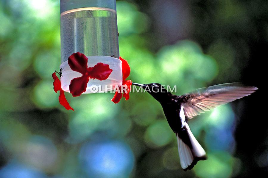 Animais. Aves. Beija-flor. SP. Foto de Juca Martins.