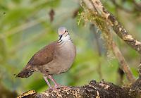 White-throated Quail-Dove, Geotrygon frenata, at a feeder in Tandayapa Valley, Ecuador