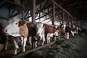 13/02/17 - PICHERANDE - PUY DE DOME - FRANCE - GAEC de l Edelweiss. Genisses Simmental - Photo Jerome CHABANNE