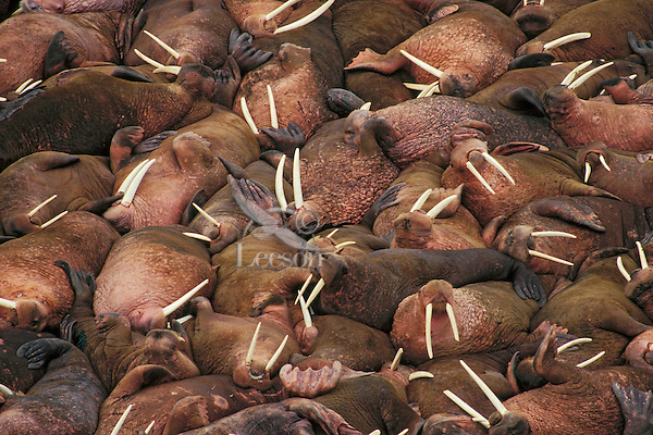 Walrus bulls (Odobenus rosmarus) hauled out along the Alaska Peninsula's Bering Sea coast.  Summer.