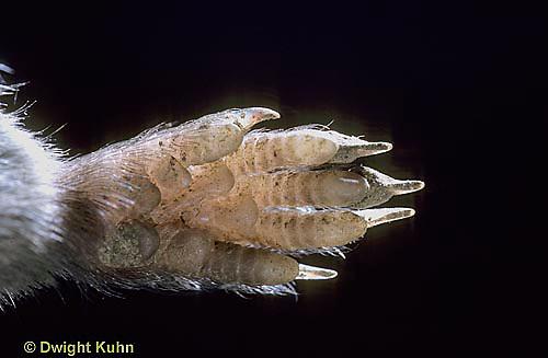 MU18-003a   Short-tailed Shrew - front foot, shrew is a food strong digger -  Blarina brevicauda