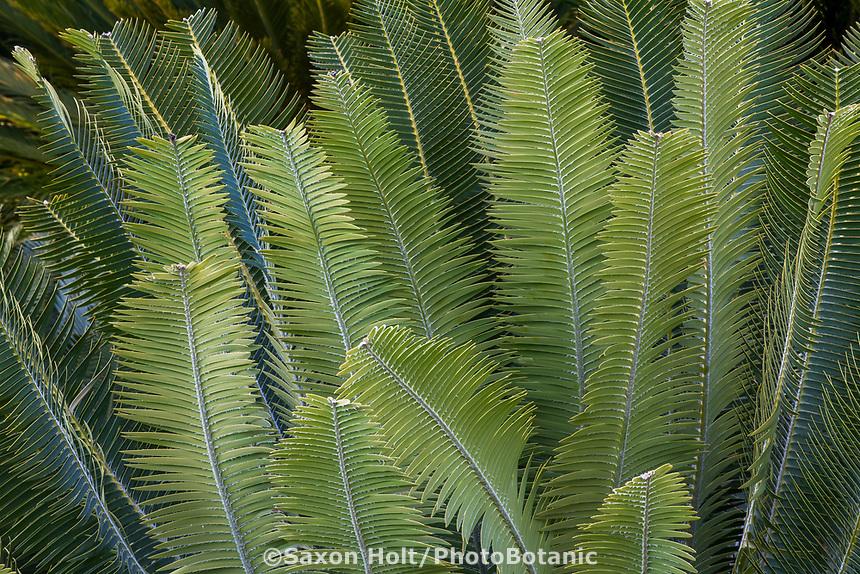 Dioon holmgrenii (Sun Palm) at Leaning Pine Arboretum
