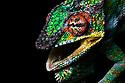 Panther chameleon male in threat display {Furcifer pardelis}, Madagascar.