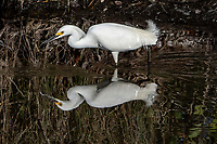An egret hunts for a meal above its reflection in the water at Merritt Island, FL, March 2020.(Photo by Brian Cleary/bcpix.com)